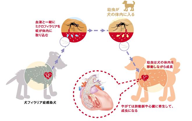 犬のフィラリア症の原因