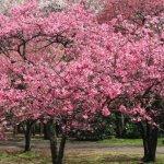 東京近郊の早咲き桜の種類