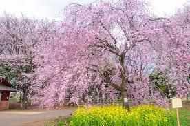 遅咲き桜の花見ができる場所