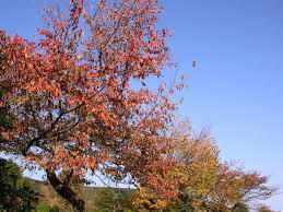 紅葉と桜の花見
