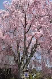 遅咲き桜の種類