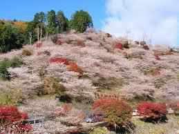 秋に桜が見れる場所