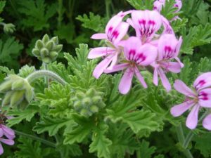 geranium_rose