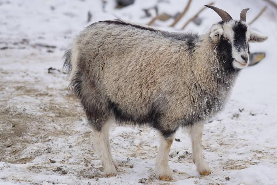 goat-1160961_960_720