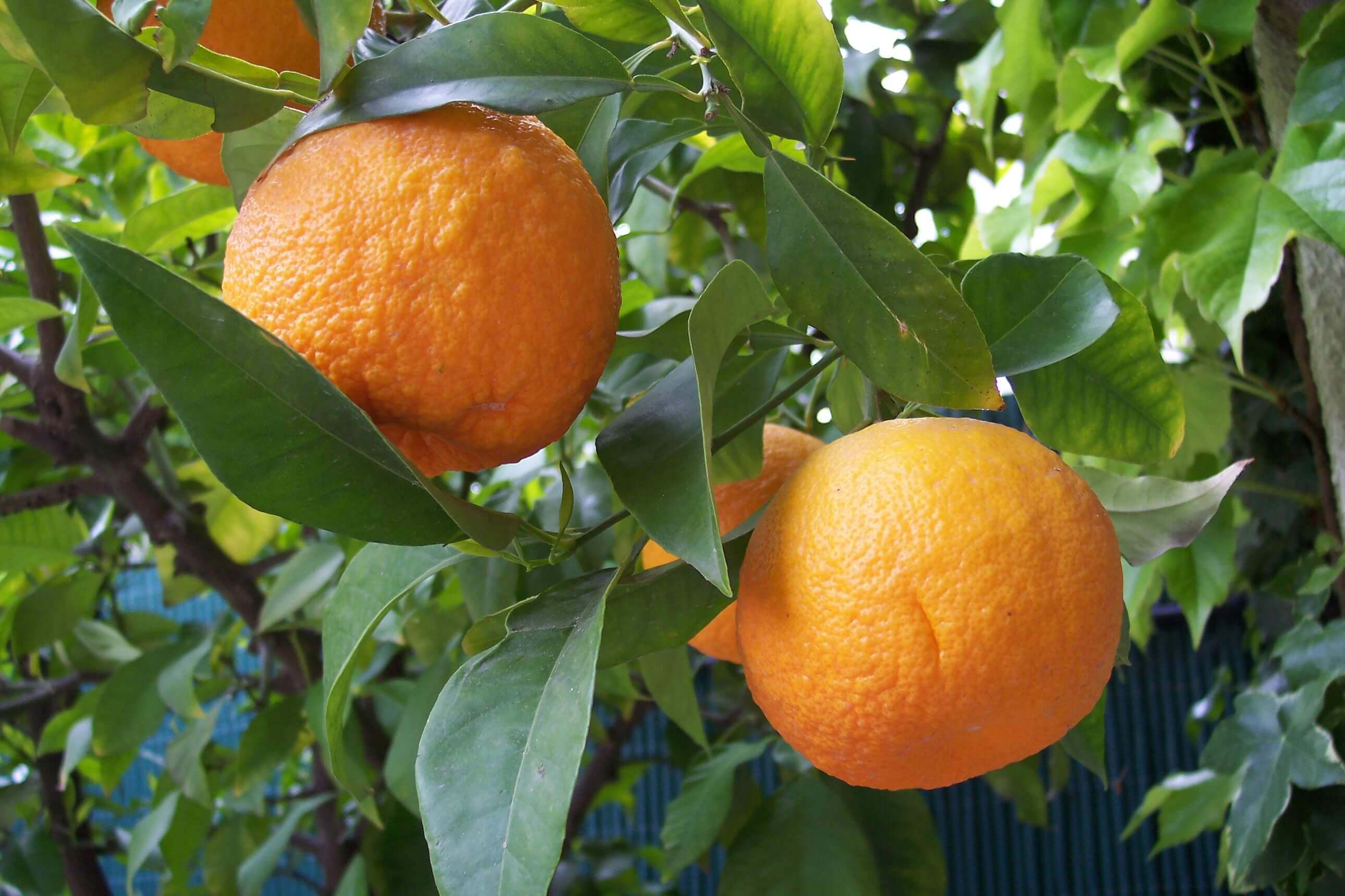 Citrus_aurantium