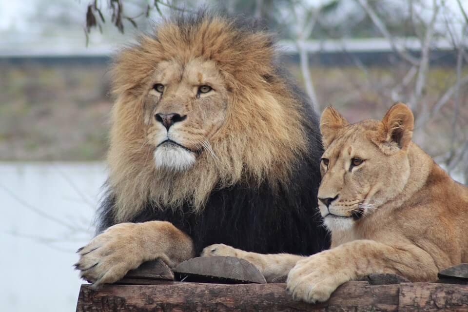 male-lion-3997167_960_720