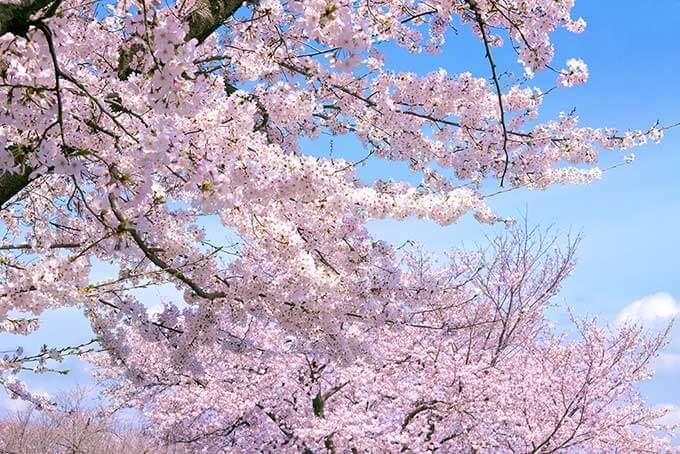 cherry-blossom_00012